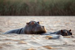 Family of hippos in river in South Africa Stock Photos