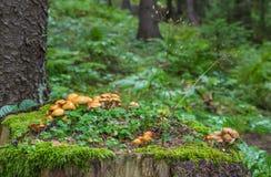 Family Honey fungus Royalty Free Stock Image
