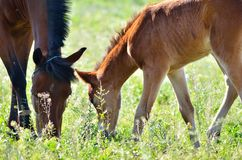 Family horse grazing Stock Image
