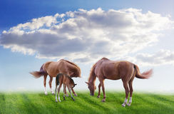 Family horses peacefully grazing in a meadow. Serenity - the family under a peaceful sky horses Royalty Free Stock Images