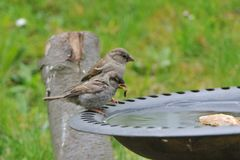 Family of house sparrow in a bird bath. Family  of house sparrow in a bird bath in a garden Stock Photos