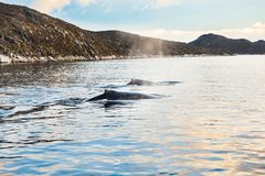 Humpback whales in western Greenland. Family of humpback whales, Atlantic ocean, western Greenland Royalty Free Stock Photo