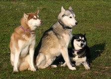 Family husky dogs. Family of purebred siberian husky: beautiful eskimo dogs Stock Image