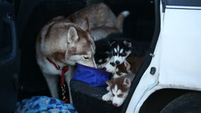 Family husky dogs. At watering in a car stock video