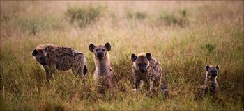 Family of hyenas. Crocuta crocuta. Family of hyenas.Hyenas early in the morning in a grass Stock Images