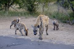 Family of hyenas and cubs stock photos