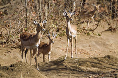 Family of Impala in the riverbank in Kruger National park Royalty Free Stock Photos