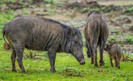 The Family of Indian boar. Sus scrofa cristatus royalty free stock image