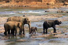 Family of Indian elephants Stock Images