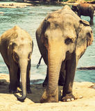 Family indian elephants bath in river Ceylon, Pinnawala Stock Photo