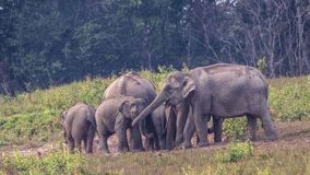Family of Indian Elephants. Elephas maximus indicus, are gathering in prairie at Khao Yai National Park in Thailand Stock Image