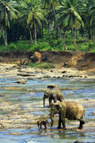 Family of Indian elephants Stock Image