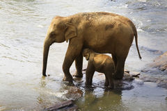 Family of Indian elephants. Royalty Free Stock Images