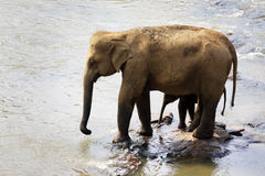 Family of Indian elephants. Royalty Free Stock Photography