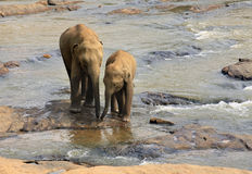 Family of Indian elephants. Stock Photo