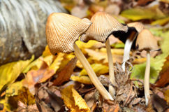 Family inedible mushrooms growing in the forest. Stock Photos