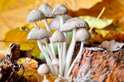 Family inedible mushrooms growing in the forest. Royalty Free Stock Images