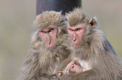 Family of japanese monkeys. Mother feeding her baby Royalty Free Stock Photography