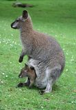 Family of kangaroos Stock Images