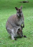 Family of kangaroos. Mother and baby Royalty Free Stock Image