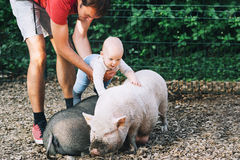 Family with kids in the petting zoo. Adorable baby feels delight emotions from communicating with animals. Big pig and little baby Royalty Free Stock Images