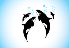 Family of killer whales swim & breathing together inside ocean Stock Photo
