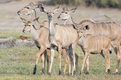 Family of kudu deer. In Africa Stock Image