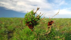 A family of ladybirds crawling along a green branch, flooded with a spring sun stock footage