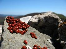 Family of ladybugs Royalty Free Stock Photo
