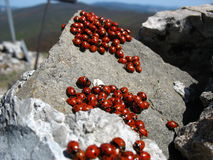 Family of ladybugs Stock Photos