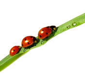 Family of ladybugs on green leaf Stock Photography