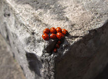 Family of ladybugs Stock Photography