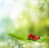 Family of ladybugs at the time of reproduction Stock Photography