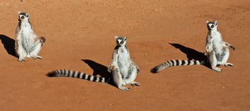 Family of Lemurs. Family of Ringed Tail Lemurs bask in the sun at Berenty Madagascar Royalty Free Stock Images