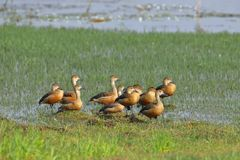Family of lesser whistling duck. Group of lesser whistling duck standing in the grass in the water of the pond royalty free stock image