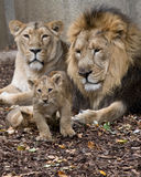 Family of lion. Lion family,  male female and baby Stock Photos