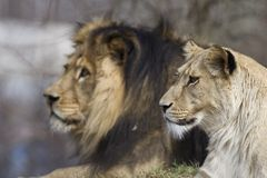 Family of lions Royalty Free Stock Images
