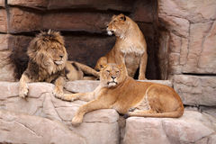 Family of lions. The male lion and two lionesses resting on the rocks Stock Photo
