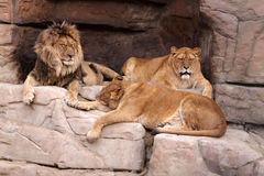 Family of lions. The male lion and two lionesses resting on the rocks Stock Photos