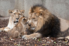 Family of lions Royalty Free Stock Image