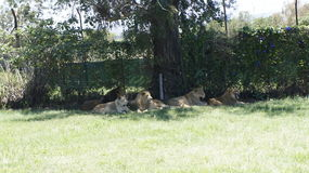 A family of lions with a cubs in a natural environment. A family of lions with a cubs  lie in the shade in a natural environment Stock Image