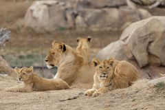 Female Lion Playing With Cubs - Denver Zoo Animal. A Family of Lions - Denver Zoo Animal royalty free stock photo