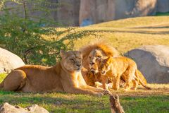 Family of lions in kenya royalty free stock photos