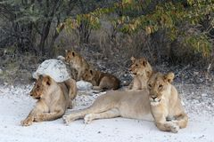 A family of Lions in Namibia stock photography