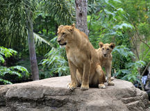 Family of lions royalty free stock photo