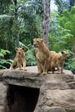 Family of lions stock photos