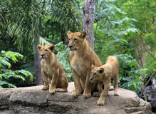 Family of lions Royalty Free Stock Photography