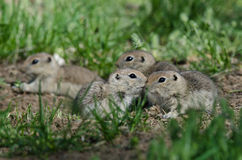 Family of Little Ground Squirrels Clustered Around Their Hole. Family of Adorable Ground Squirrels Clustered Around Their Hole royalty free stock photography