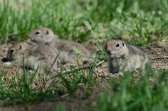 Family of Little Ground Squirrels Clustered Around Their Hole. Family of Cute Little Ground Squirrels Clustered Around Their Hole stock photos