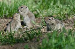 Family of Little Ground Squirrels Clustered Around Their Hole. Family of Adorable Little Ground Squirrels Clustered Around Their Hole stock images